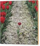 Red Tulips Wood Print by Jim Corwin