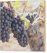 Red Wine Grapes Growing On Old Grapevine Wood Print