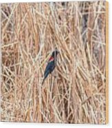 Red Wing Blackbird  Wood Print
