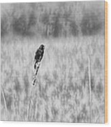 Red-wing Singing In The Marsh Wood Print
