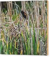 Red-winged Black Bird In The Cattails Wood Print