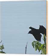 Red Winged Blackbird In Taking Off Wood Print