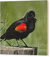 Red-winged Blackbird Singing Wood Print