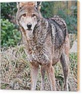 Red Wolf Alert Wood Print