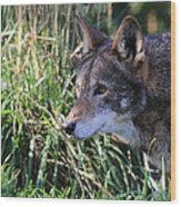 Red Wolf On The Hunt Wood Print