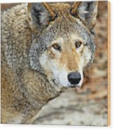 Red Wolf Portrait Wood Print