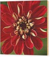 Red Zennia Wood Print