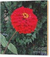 Red Zinnia 2 Wood Print