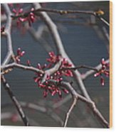 Redbuds Ready To Pop Wood Print