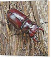 Reddish-brown Stag Beetle - Lucanus Capreolus Wood Print