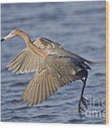 Reddish Egret Dance Fishing Wood Print
