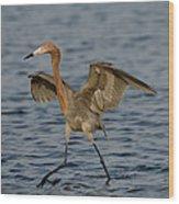 Reddish Egret Doing Fishing Dance Wood Print