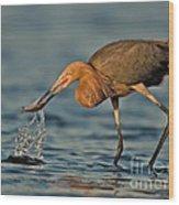 Reddish Egret Strike Wood Print