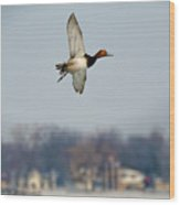 Redhead Duck Over Harsens Island Michigan Wood Print