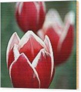 Redwhitetulips6838-1 Wood Print