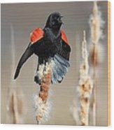 Redwing Blackbird Displaying Wood Print