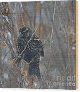 Redwing Blackbird Immature Male  Wood Print