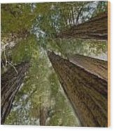 Redwood Canopy Wood Print