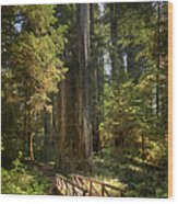 Redwood Forest On A Perfect Spring Day Wood Print