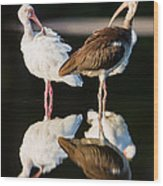 Reflection Of Two Young Ibis Wood Print