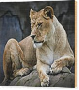 Reflections Of A Lioness Wood Print