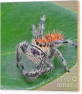 Regal Jumping Spider Wood Print
