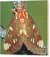 Regal Moth Wood Print
