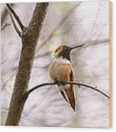 Regal Rufous Hummingbird Sitting Wood Print
