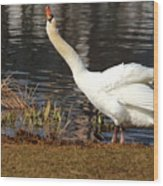 Relaxed Swan Wood Print