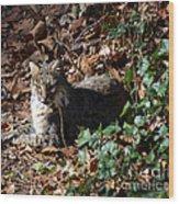 Relaxing Male Bobcat Wood Print by Eva Thomas