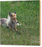 Relaxing Red Fox Wood Print