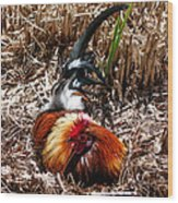 Relaxing Rooster Wood Print