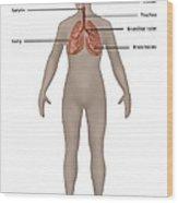 Respiratory System In Female Anatomy Wood Print