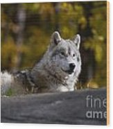 Resting Arctic Wolf On Rocks Wood Print