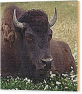 Resting Bison Wood Print