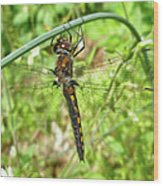 Resting Brown Dragonfly Wood Print