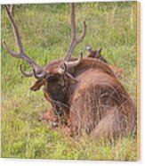 Resting Elk Wood Print