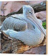 Resting Great White Pelican Wood Print