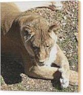 Resting Lioness Wood Print