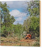 Resting Longhorn Bull - San Marcos Texas Hill Country Wood Print