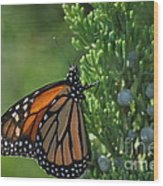 Resting Monarch Wood Print