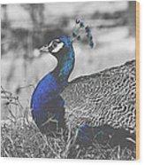 Resting Peacock Wood Print