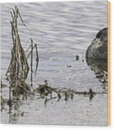 Resting Pied-billed Grebe Wood Print
