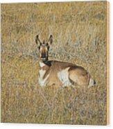 Resting Pronghorn Wood Print by Sarah Crites