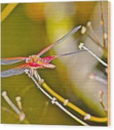 Resting Red Dragonfly Wood Print