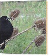 Resting Red-winged Blackbird  Wood Print