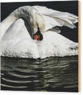 Resting Swan Wood Print