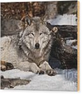 Resting Timber Wolf Wood Print
