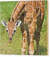 Reticulated Giraffe 6 Week Old Calf Wood Print