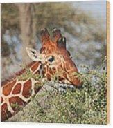Reticulated Giraffe Browsing Acacia Kenya Wood Print